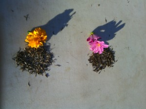 Marigold and cosmos seeds
